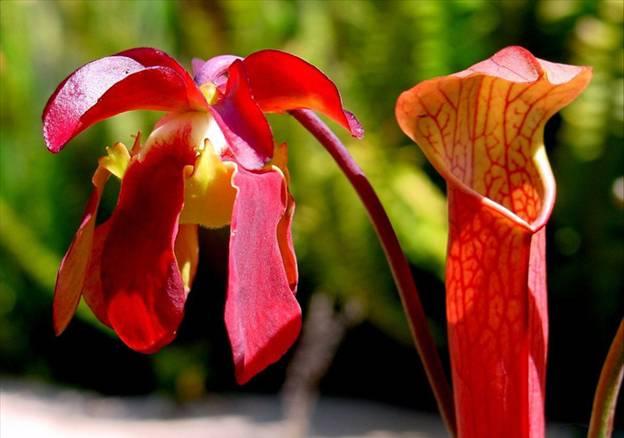 Саррацения Красная