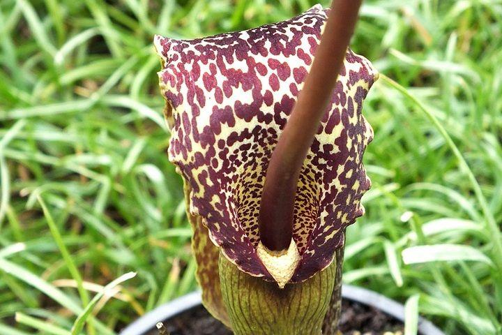 Цветок сауроматума
