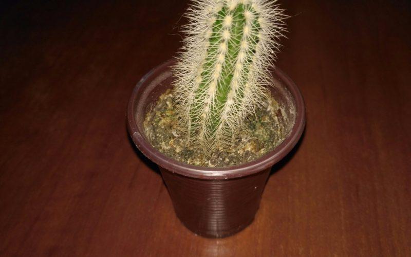 Маленькое, колючее растение