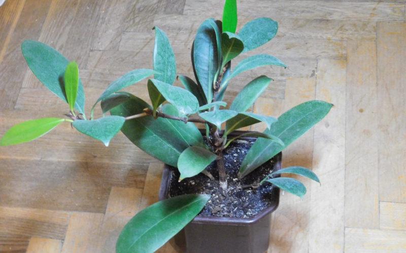 Комнатное растение с большими темно зелеными листками