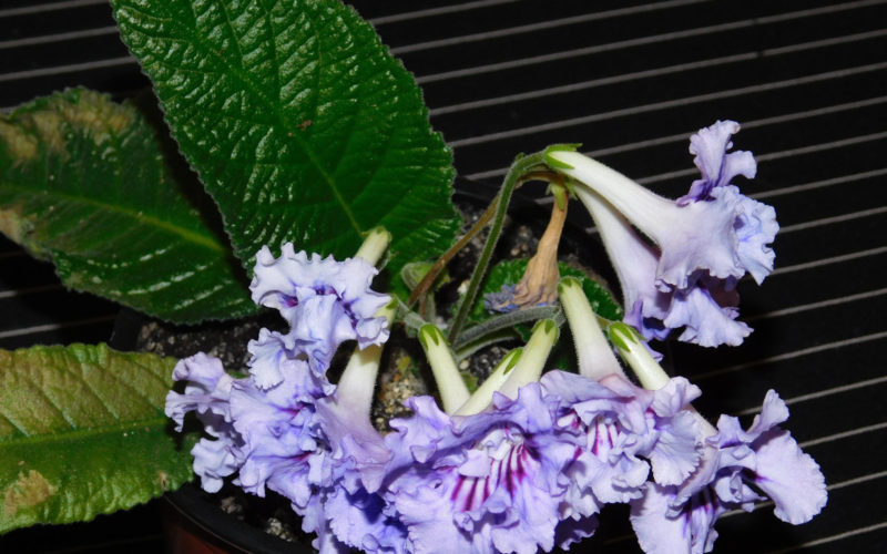 Зеленое растение с красивыми цветами-колокольчиками