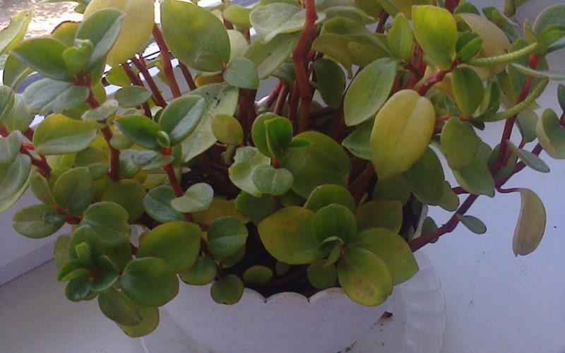 Растение с зелеными небольшими листиками