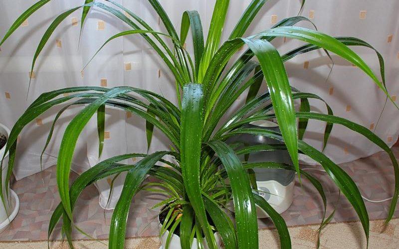 Как называется комнатное растение с колючими листьями?