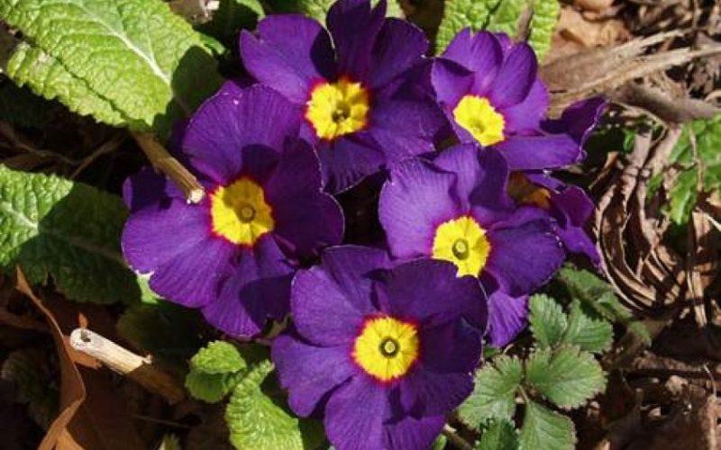 Фиолетовый цветок с желтой серединкой