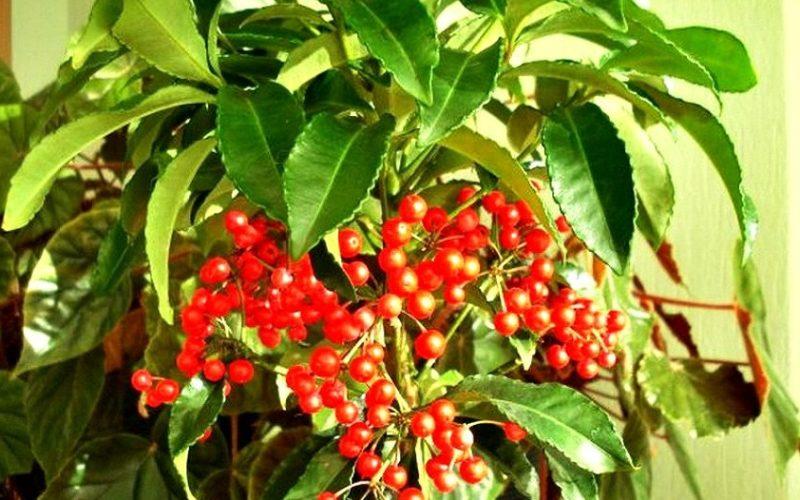 Цветок с красными ягодами фото