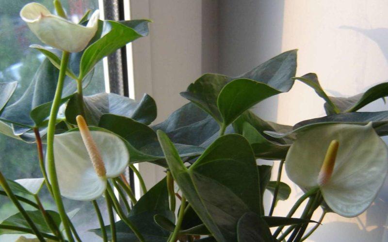 Цветок похожий на спатифиллум с белыми цветами