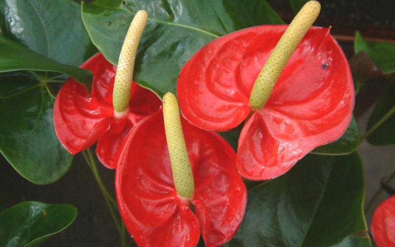 Как называется красный цветок с желтым пестиком