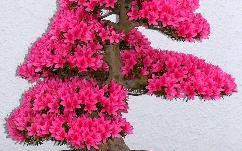 Дерево с розовыми цветами без листьев