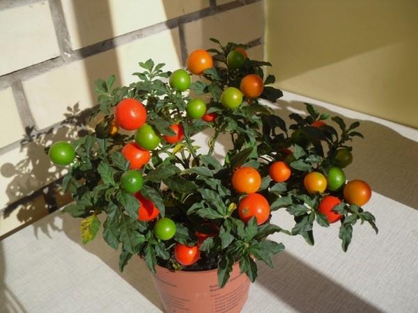 Комнатное растение с оранжевыми ягодами