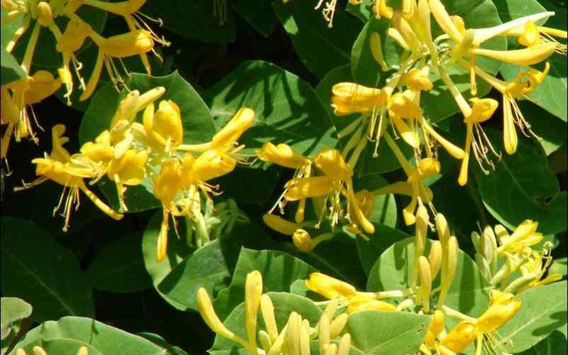 Вьющийся цветок с желтыми цветами