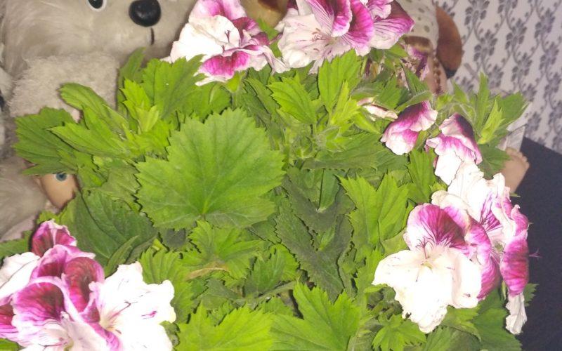 Комнатное растение с розовыми цветами
