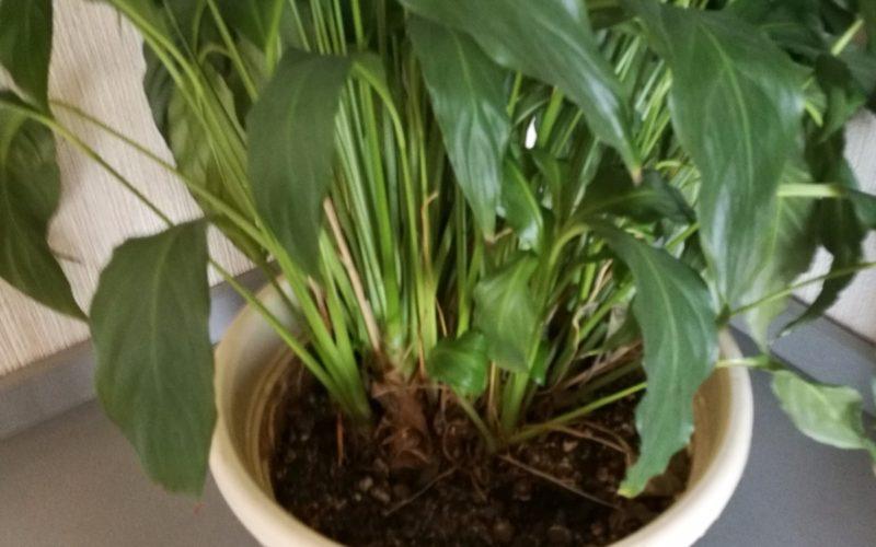 Комнатное растение с зелеными листьями