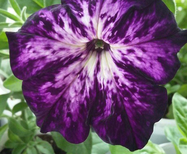 Фиолетово-белый цветок