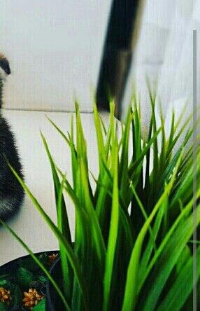 Зеленое растение похожее на траву
