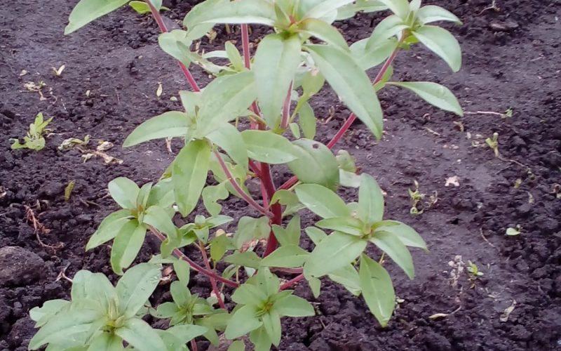 Зеленое растение с красным стеблем