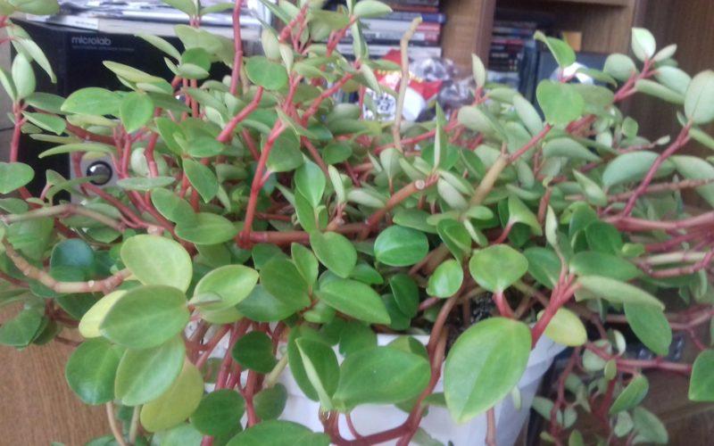 Зелёное растения с маленькими листьями и свисающими ветками