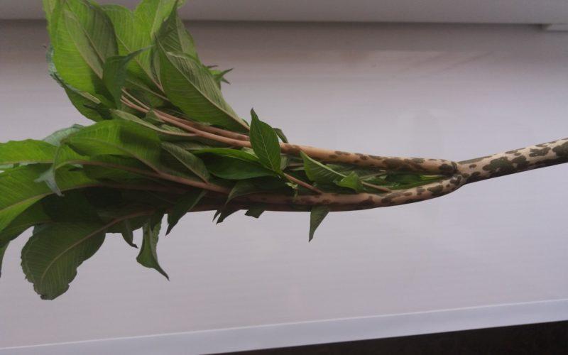 Зеленое растение похожее на пальму