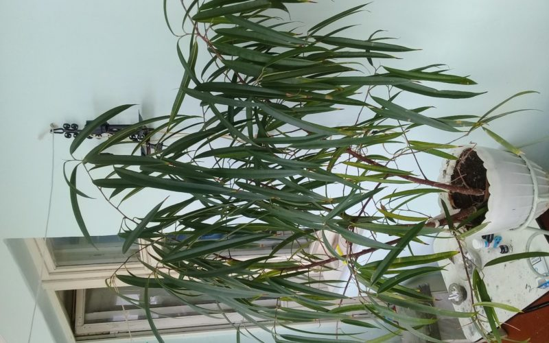 Растение с узкими длинными листьями