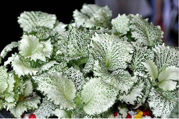 Имеет изумрудного цвета листья, пронизанные сетью белых или серебристых жилок