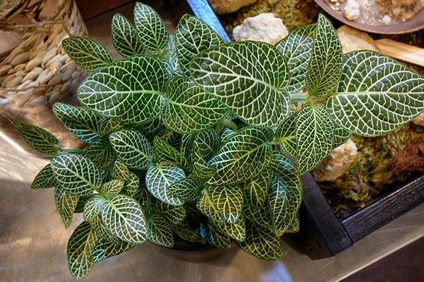 По расцветке похожа на серебристожилковую, отличаясь лишь мелкими (2,5 см) листьями