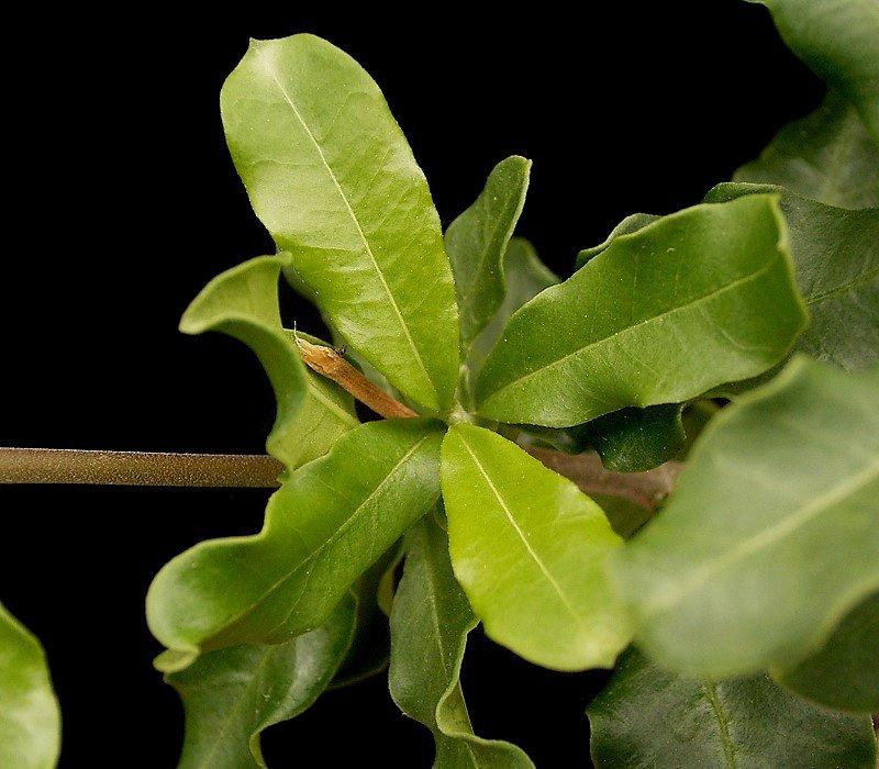 Листовые пластинки плотные, ярко-зеленые, с хорошо выраженной центральной жилкой