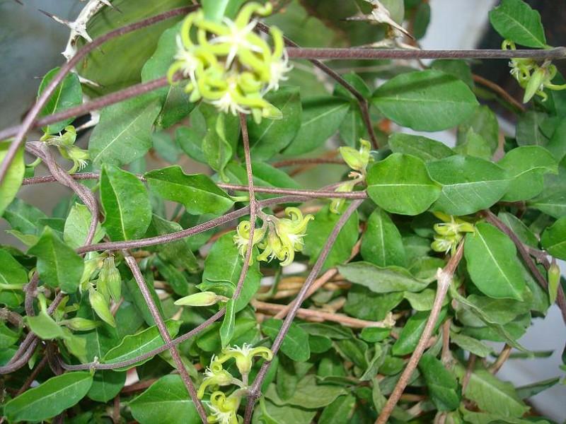 Своей формой цветок напоминает пятиконечную звезду