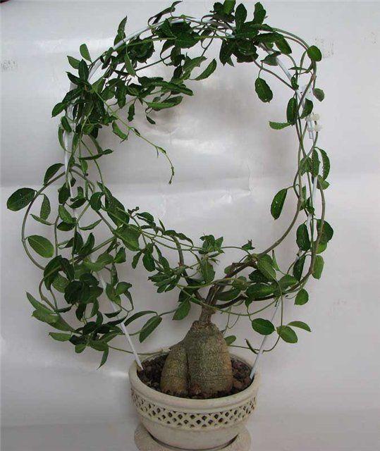 Их ветви вытягиваются не более чем на 0,5 м, нуждаясь в подвязке или опоре
