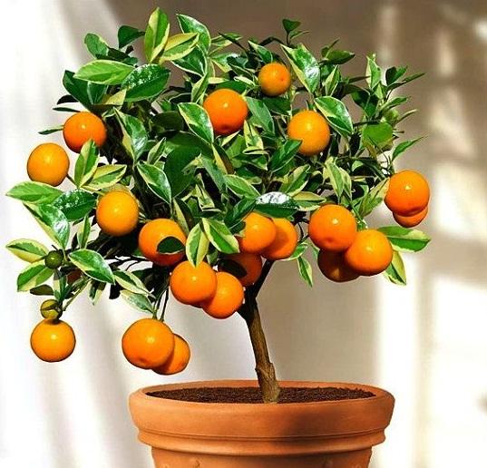 Каламондин — гибрид мандарина и кумквата