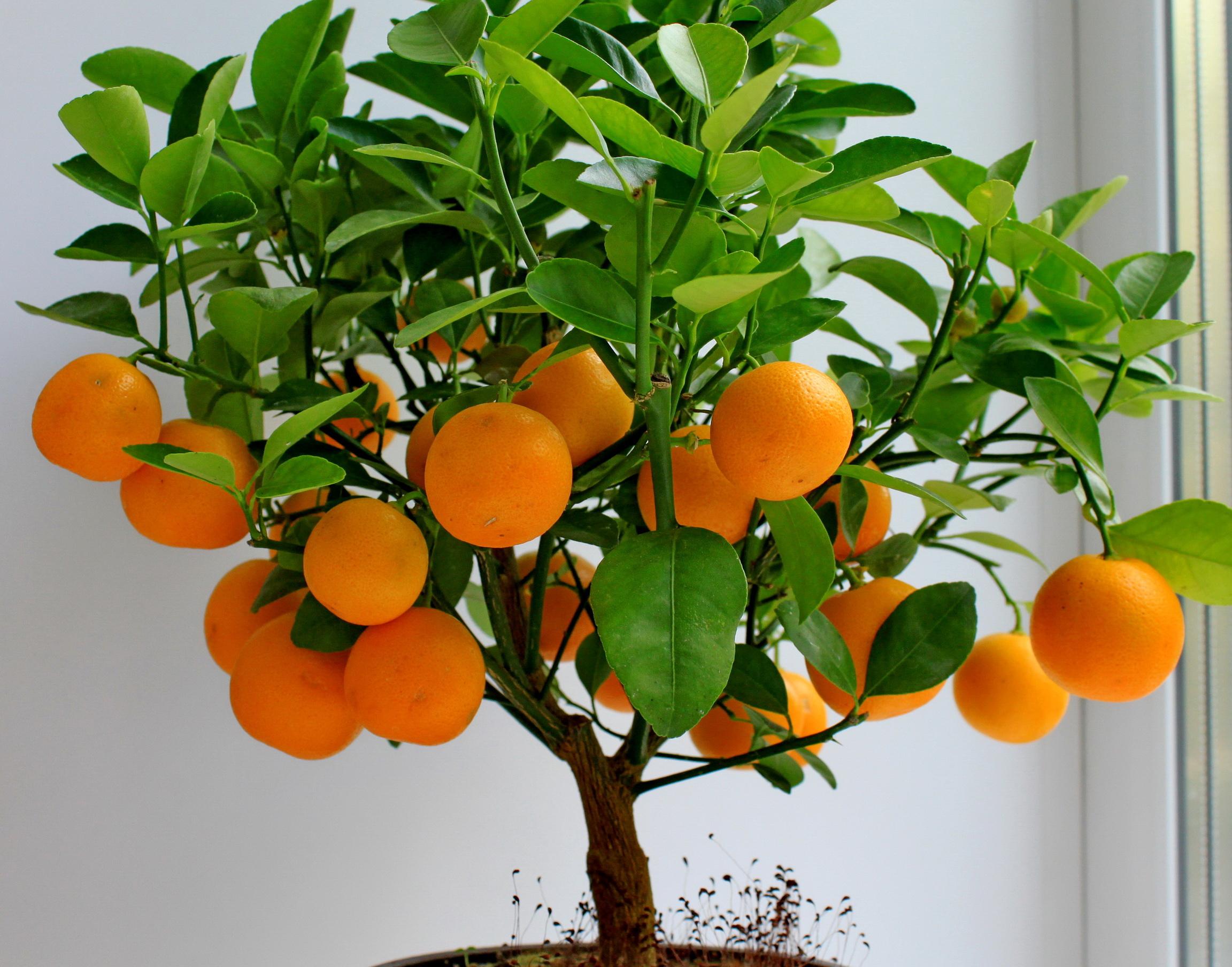 За миниатюрность Фортунелла называют «Карликовый апельсин»