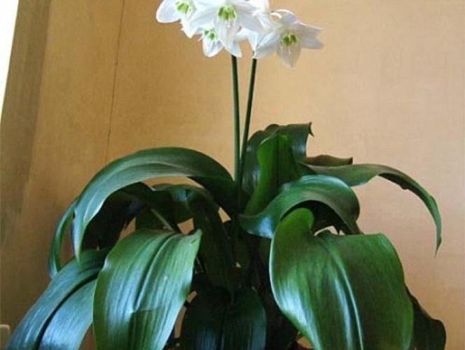 Комнатное луковичное растение с белыми цветами — как называется?