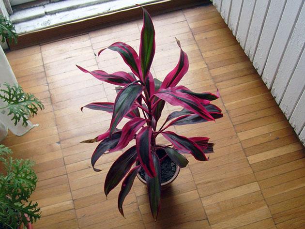 Комнатный цветок с малиновыми листьями