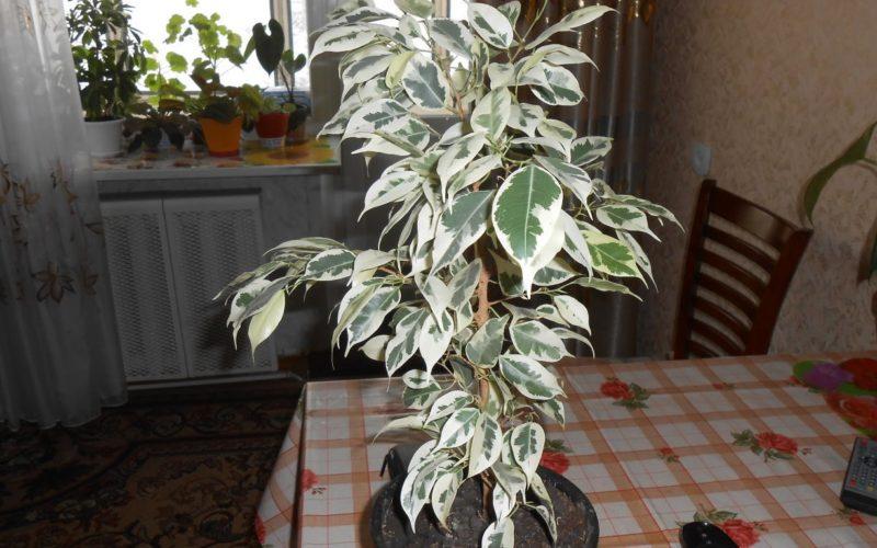 Комнатное растение с зелено-белыми листьями