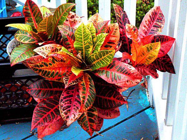 Домашний цветок с красно-желтыми листьями