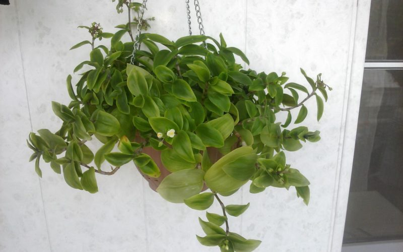 Тенелюбивое зеленое растение с мелкими белыми цветами