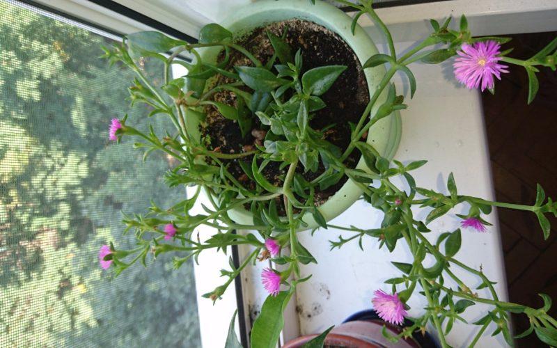 Комнатный цветок как у василька