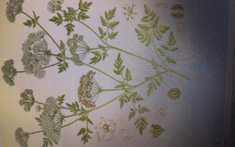 Зеленое растение с белыми бутонами