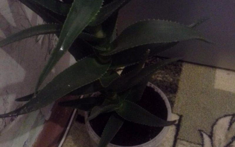 Зеленое растение с колючками на краях листьев