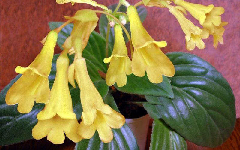 Цветок с большими желтыми цветами
