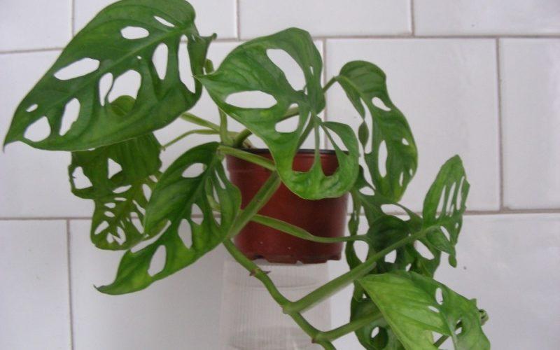 Комнатное растение с вытянутыми листьями