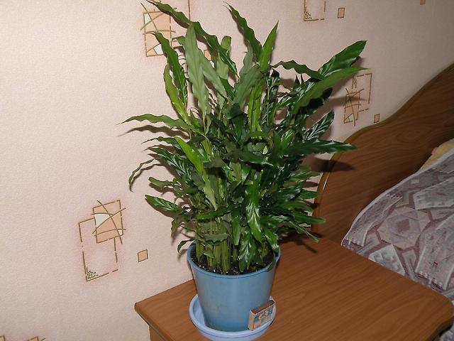 Что за домашний цветок с длинными волнистыми листьями?