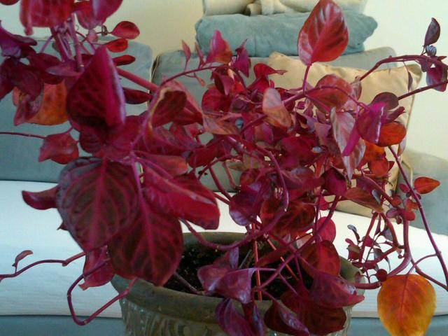 Название домашнего цветка с красными листьями