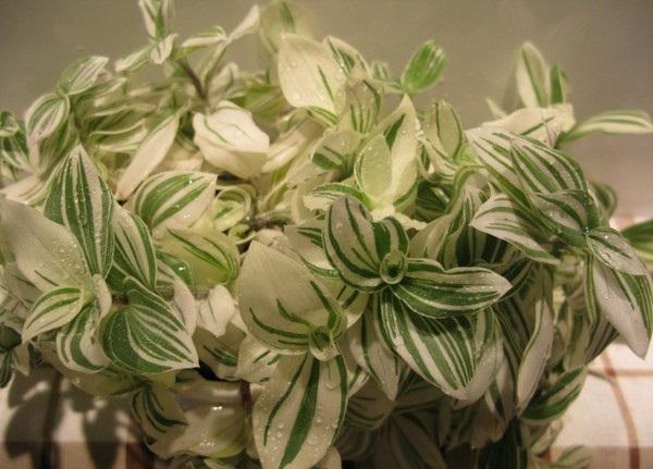 Комнатное растение с бело-зелеными листьями