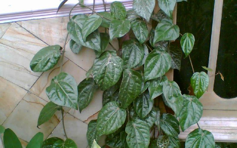 Что за комнатное растение лиана с темно-зелеными листьями?