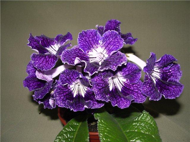 Как называется комнатный цветок с сиреневыми цветами?