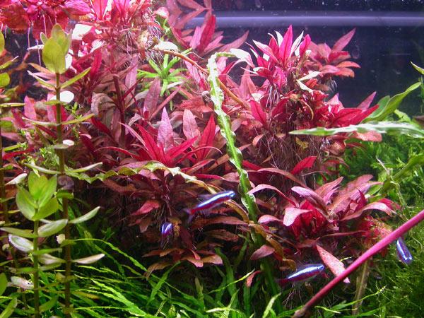 Аквариумное растение с красными листьями