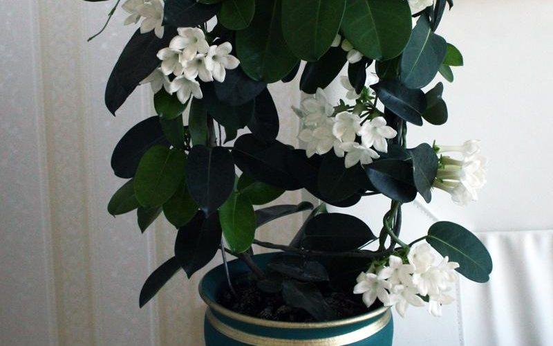 Название домашнего цветка с белыми цветами