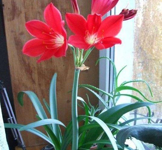 Комнатный цветок луковица с красными цветами
