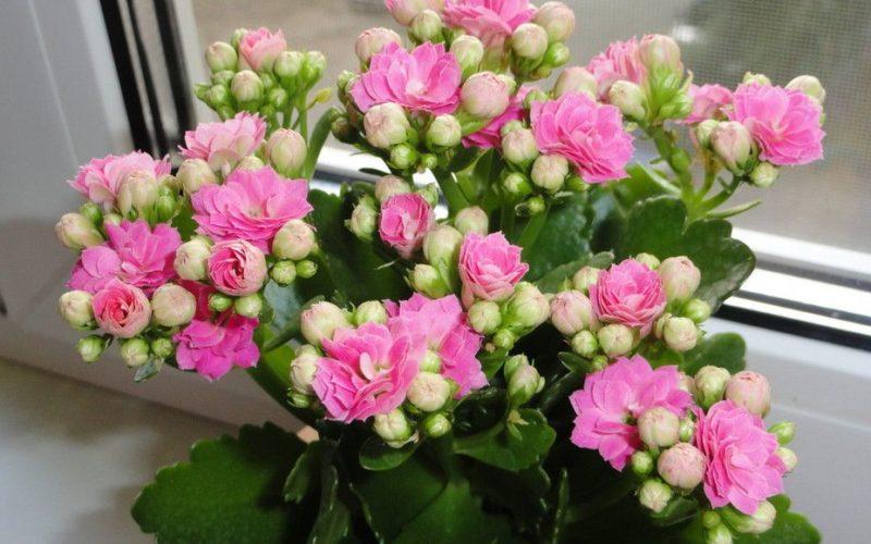 Что за домашний цветок с маленькими розовыми цветочками?