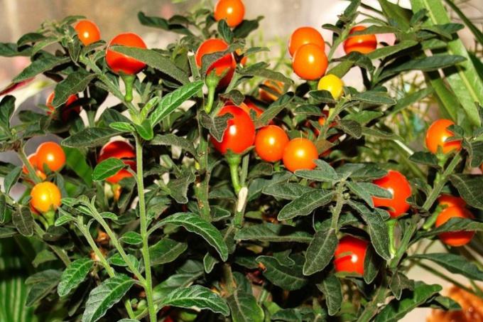 Цветок с оранжевыми шариками