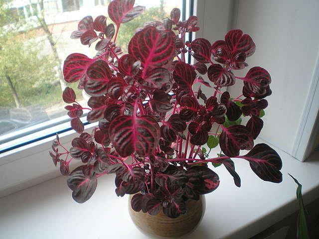 Как называется домашний цветок с красными листьями